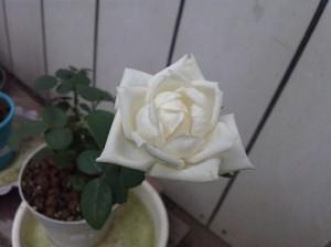 白いバラが開花しました。