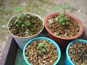 白バラの元気に成長し始めた3本の苗
