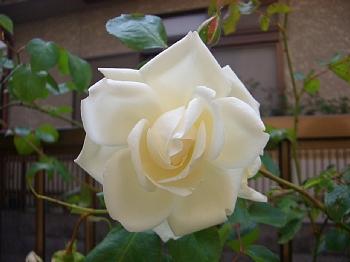 バラを種から育てる