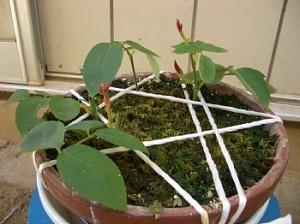 緑枝挿し木に新芽が