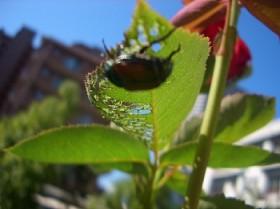 バラの害虫、コガネムシの成虫-2