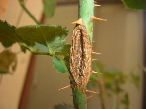 チュウレンジハバチの被害痕