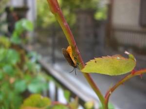 チュウレンジハバチの成虫-2