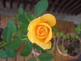 ミニバラ黄色