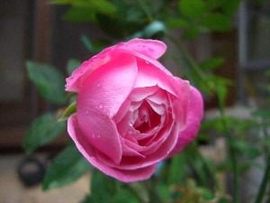 エルモサの秋バラ開花-2