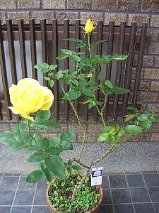 ドフトゴールド2012秋バラ-2