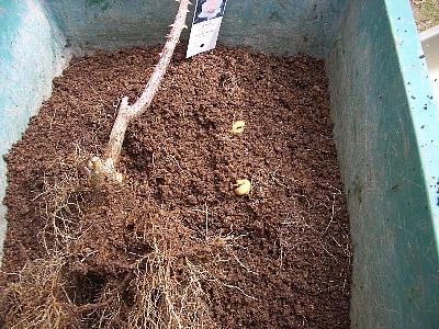 ドフトゴールドの根とコガネムシの幼虫