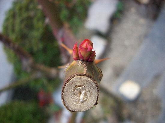 バラの新芽の芽かき