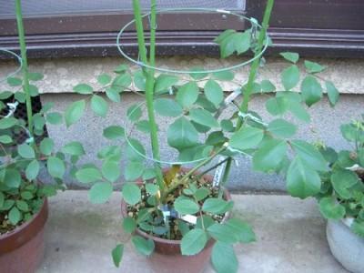 つるバラ、ブレーズの挿し木2011