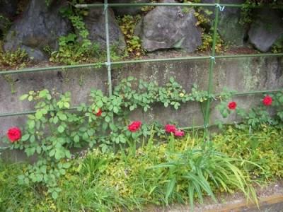 つるバラ、ブレーズの挿し木の地植え2012-2