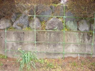 つるバラ、ブレーズの挿し木の地植え2012