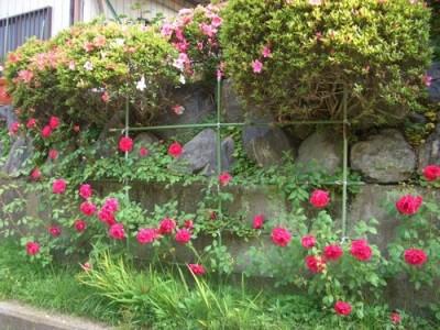 つるバラ、ブレーズの挿し木の地植え2013