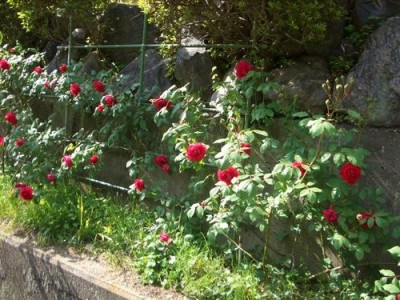 つるバラ、ブレーズの挿し木の地植え2014-2