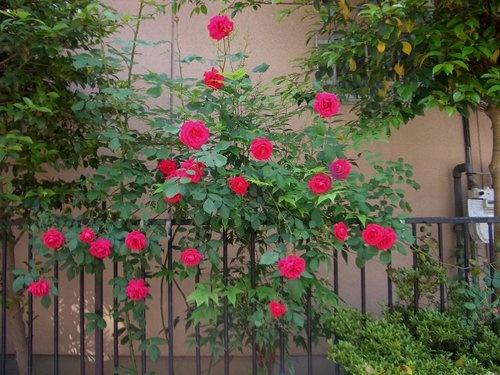 赤いつるバラ、ブレーズ