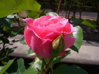 クイーン・エリザベスの1番花
