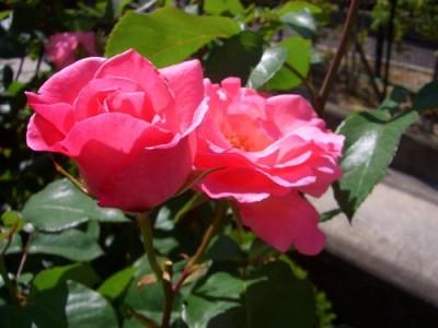 房咲きのクイーン・エリザベス