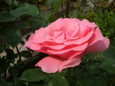 丸弁盃状咲きの花