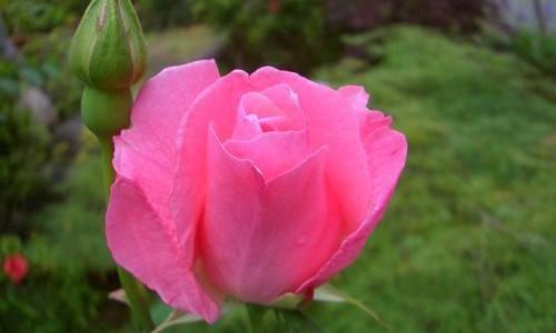 ピンクのバラ、クイーン・エリザベス