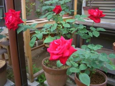 成長した挿し木苗のバラの花