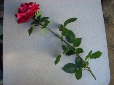 バラの挿し木の方法!時期や植え替え等、花が咲くまでの管理 ...