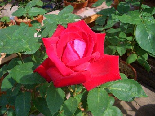 挿し木のバラの花