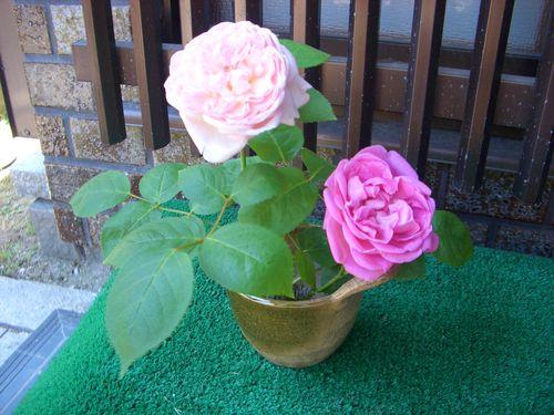 イングリッシュローズとオールドローズの切り花