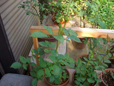 1本づつ植え替えた2014年5月のミニバラ
