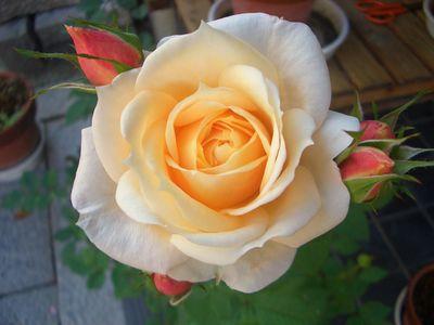 可愛い秋バラの開花
