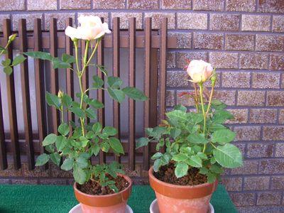 中央の花が開き始めた5月20日のミニバラ