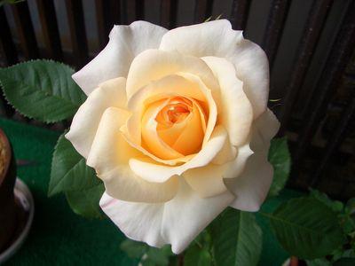 ピンクが薄い左のバラ
