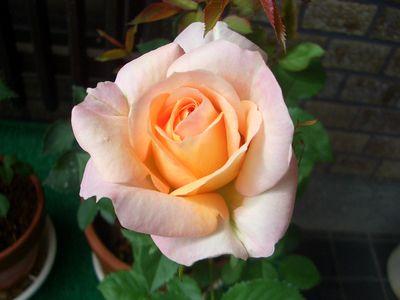 ピンクとベージュの複色が可愛い