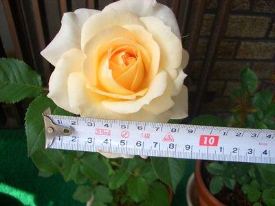 花びらの大きさ