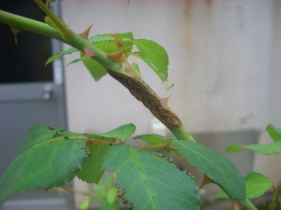 チュウレンジハバチの産卵痕