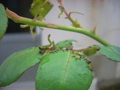 チュウレンジハバチの幼虫
