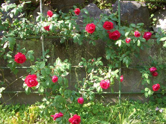 つるバラ、ブレーズの剪定と誘引