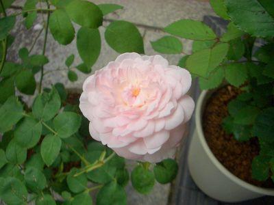 コーネリア、5月中旬の花