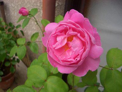 5月中旬、ライラックピンクの花の開花