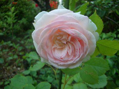 5月中旬、ピエール・ドゥ・ロンサールの花の開花