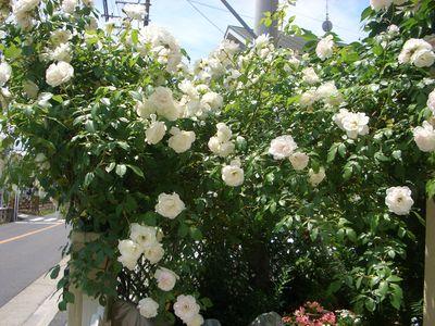 バラ アイスバーグの特徴