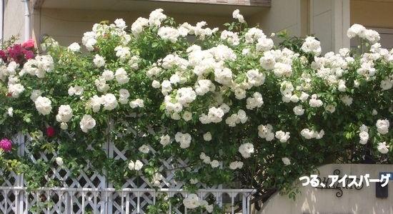 アイスバーグが咲き乱れるバラ好きお宅