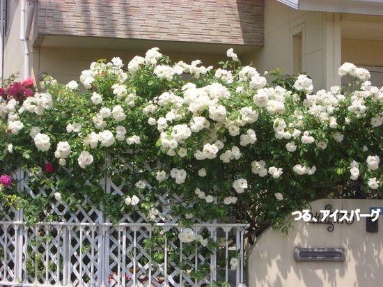 アイスバーグが咲き乱れるバラ好きお宅訪問!