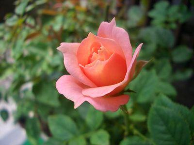 ピンクの色合いが濃いミニバラ、フジサン・フォーエバー