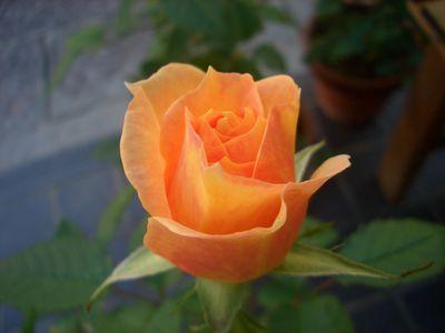 オレンジ系が濃いミニバラ、フジサン・フォーエバー