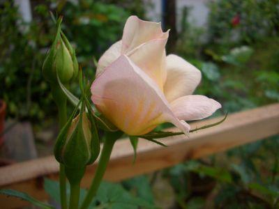 淡いピンク系のミニバラ、フジサン・フォーエバー