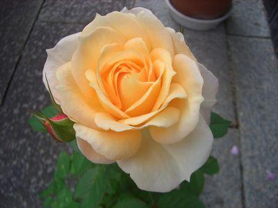 ベージュの色合いが強い花