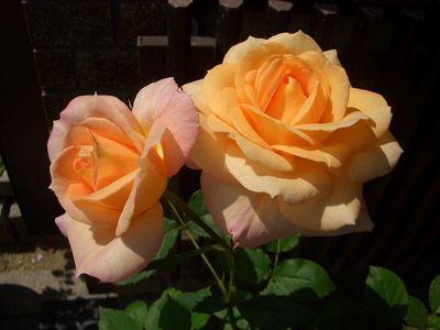 オレンジともベージュとも言える豪華な大輪