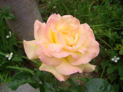 黄色にピンクの覆輪、ピース