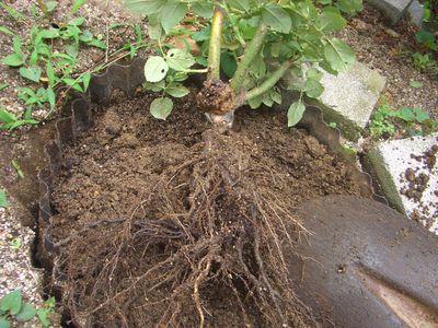 庭植えピースの掘り上げ