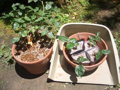 鉢に植え替え