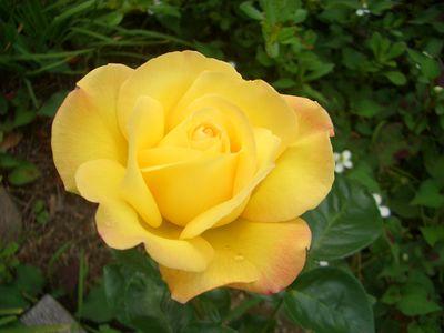 ピースの1番花